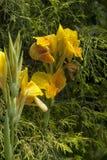 Gele Canna Lily Cleopatra Stock Afbeeldingen