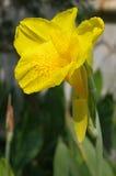 Gele cannaceaebloem Stock Afbeelding