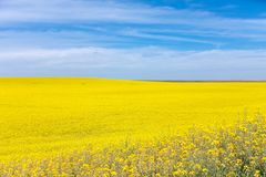 Gele Canola-Bloem Stock Afbeeldingen