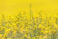 Gele Canola-Bloem Stock Afbeelding