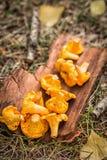 Gele cantharelpaddestoelen op houten achtergrond Gastronomisch voedsel royalty-vrije stock afbeeldingen