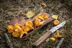 Gele cantharelpaddestoelen op houten achtergrond Gastronomisch voedsel royalty-vrije stock foto