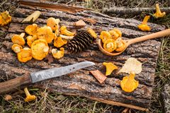 Gele cantharelpaddestoelen op rustieke houten achtergrond stock foto
