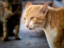 Gele Cat Threatening The Invading Cat stock fotografie