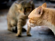 Gele Cat Threatening The Invading Cat royalty-vrije stock foto