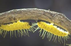 Gele catapillar wormen op weinig tak Stock Fotografie