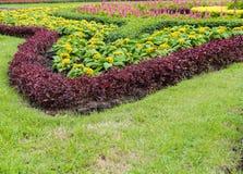 Gele Celosia-argentea Stock Afbeeldingen