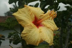 Gele Chinese hibiscus met rood centrum omvat in regendruppels op bloemblaadje en meeldraad stock afbeeldingen