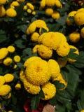 Gele chrysant royalty-vrije stock foto