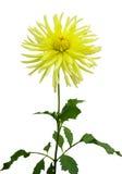 Gele chrysant Royalty-vrije Stock Foto's