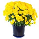 Gele chrysant in bloempot Royalty-vrije Stock Afbeeldingen