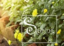 Gele chrysant in de tuin royalty-vrije stock afbeelding