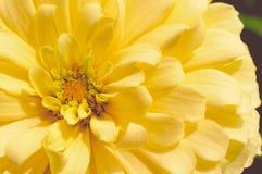 Gele Chrysant in Dichte Omhooggaande Mening Stock Afbeeldingen