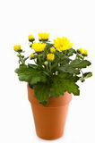 Gele chrysant in kleipot Royalty-vrije Stock Afbeelding