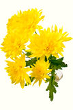 Gele chrysant op wit Stock Foto's