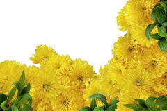 Gele chrysant op witte achtergrond Royalty-vrije Stock Afbeeldingen