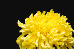 Gele chrysant op zwarte achtergrond Royalty-vrije Stock Fotografie