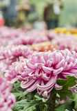 Gele chrysant openlucht Stock Fotografie