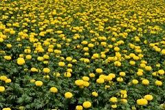 Gele Chrysant, Samanthi-poo, Chrysantenindicum stock afbeelding