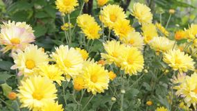 Gele chrysanten in de tuin stock video