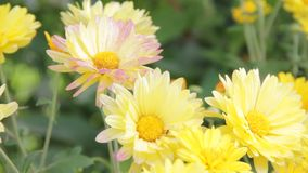 Gele chrysanten in de tuin stock footage