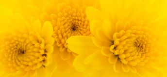 Gele chrysantenachtergrond royalty-vrije stock foto's