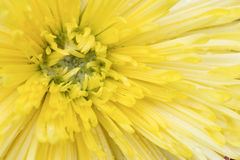 Gele chrysantenbloem Royalty-vrije Stock Fotografie