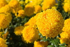 Gele chrysantenbloem Royalty-vrije Stock Foto's