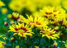 Gele chrysantenbloem Stock Foto's