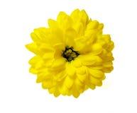Gele chrysantenbloem die op wit wordt geïsoleerdn Stock Afbeeldingen
