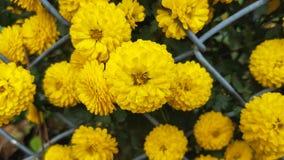 Gele chrysantenbloemen Royalty-vrije Stock Afbeeldingen