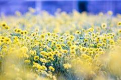 Gele chrysantenbloemen royalty-vrije stock foto