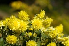Gele Chrysantenbloemen in de herfsttuin Stock Afbeelding