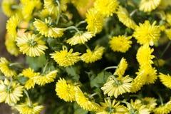 Gele Chrysantenbloemen in de herfsttuin Royalty-vrije Stock Afbeelding