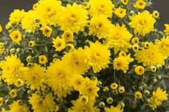 Gele chrysantenclose-up royalty-vrije stock foto