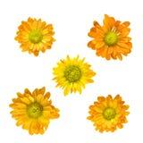 Gele chrysantenhoofden die op wit worden geïsoleerd Royalty-vrije Stock Afbeeldingen