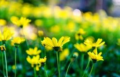 Gele chrysantenindicum Stock Afbeelding