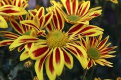 Gele chrysanthem royalty-vrije stock foto's