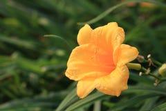 Gele cicaden Stock Foto's