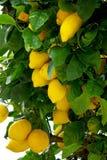 Gele citroenen. Royalty-vrije Stock Afbeeldingen