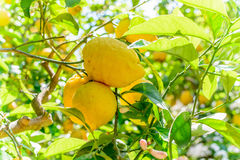 Gele citroenen die op boom hangen Horizontaal kader met citroenen  Stock Foto