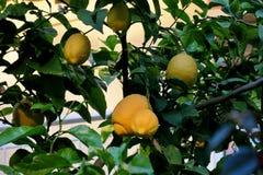 Gele citroenen die op een boom in het midden van groene bladeren hangen stock foto