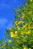 Gele clematissenbloemen over blauwe hemel Royalty-vrije Stock Afbeeldingen