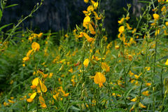 Gele close-ups van bloemen Crotalaria Stock Afbeeldingen