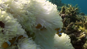 Gele Clownfish in Witte Anemone In Blue Sea stock videobeelden