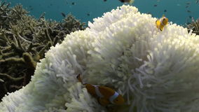 Gele Clownfish in Witte Anemone In Blue Sea stock video