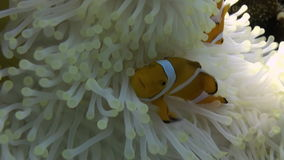 Gele Clownfish in Witte Anemone In Blue Sea stock footage