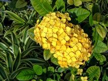 Gele coccinea van Ixora van de wildernisgeranium Royalty-vrije Stock Foto's