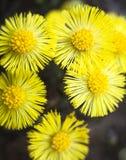 Gele coltsfootbloemen (Tussilago-farfara) Royalty-vrije Stock Foto's