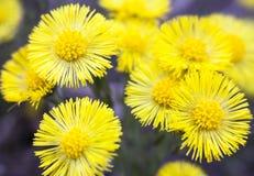 Gele coltsfootbloemen (Tussilago-farfara) Royalty-vrije Stock Afbeelding
